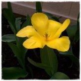 Mom's pretty tulips!